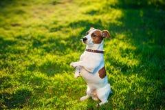 杰克罗素狗狗在草说谎 库存照片