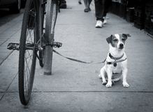 杰克罗素狗等待 免版税图库摄影