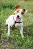 杰克罗素狗美丽的小狗 免版税图库摄影