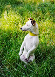 杰克罗素狗,站立在它的在坐它的后腿和看对边的草草甸的后腿的狗 库存图片