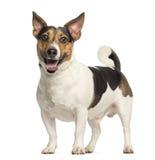 杰克罗素狗, 3岁,站立和气喘 库存照片