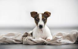 杰克罗素狗说谎的年轻演播室 免版税库存照片