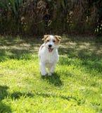 杰克罗素狗 库存照片