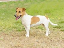 杰克罗素狗 免版税图库摄影