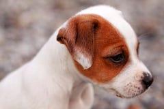杰克罗素狗puppie 免版税库存照片