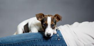 杰克罗素说谎在所有者的狗小狗。 库存图片