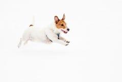 杰克罗素跑在冰池塘的狗狗 库存照片