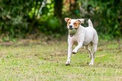 杰克罗素跑在草甸的狗狗 库存图片