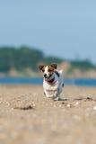 杰克罗素跑横跨海滩的狗狗 库存照片