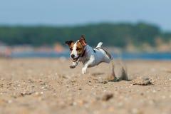 杰克罗素跳跃在沙子的狗狗 库存图片