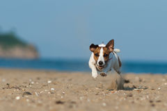 杰克罗素跳跃在海滩的狗狗 免版税库存图片