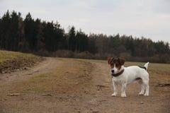 杰克罗素terier森林自然动物狗 免版税库存图片