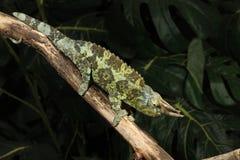 杰克逊的变色蜥蜴- Trioceros jacksoni 库存图片