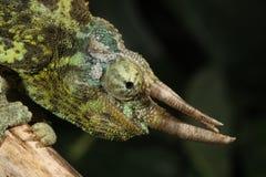 杰克逊的变色蜥蜴- Trioceros jacksoni 库存照片