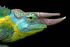 杰克逊的变色蜥蜴(Trioceros jacksonii) 免版税库存照片