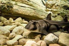 杰克逊端口鲨鱼 免版税库存图片