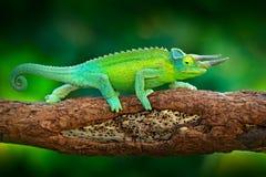 杰克逊` s变色蜥蜴, Trioceros jacksonii,坐分支在森林栖所 与lo的异乎寻常的美丽的地方性绿色爬行动物 免版税库存图片