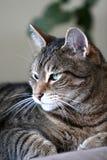 杰克,虎斑猫 免版税库存照片