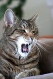杰克,虎斑猫 图库摄影