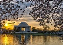 杰斐逊纪念品和樱花在日出 免版税库存照片