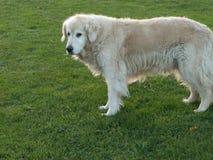 杰瑞我的金毛猎犬 库存图片