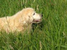杰瑞我的金毛猎犬 免版税库存照片