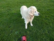 杰瑞我的金毛猎犬 图库摄影