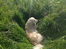 杰瑞我的金毛猎犬 免版税库存图片