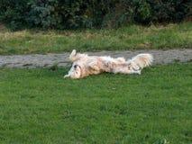 杰瑞我的金毛猎犬 免版税图库摄影