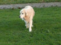 杰瑞我的金毛猎犬 库存照片