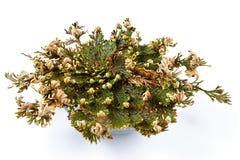 杰里科的玫瑰卷柏lepidophylla,错误杰里科的玫瑰,其他共同的名字包括耶利哥上升了,复活青苔 免版税库存照片