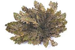 杰里科的玫瑰卷柏lepidophylla,错误杰里科的玫瑰,其他共同的名字包括耶利哥上升了,复活青苔,声浪 免版税库存图片