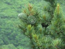 松子,杉木锥体绿色 松果,杉木团,雪松木头 免版税库存照片
