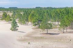 松属沙丘被盖的elliottii森林在Lagoa dos Patos 免版税库存图片