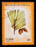 松属caribaea,植树造林serie,大约1975年 免版税库存图片