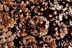 松属Wallichiana的杉木锥体 库存图片