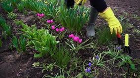 松开与手叉子的农夫土壤在春天花中在庭院里 影视素材