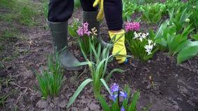 松开与手叉子的农夫土壤在春天花中在庭院里 股票视频