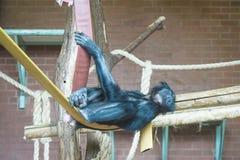 松弛倭黑猩猩 免版税库存照片