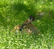 松弛妈妈Deer 库存照片