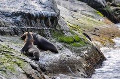 松弛封印,小猎犬海峡,乌斯怀亚,阿根廷 免版税库存照片