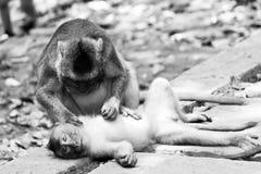 松弛猴子黑白照片  免版税库存图片