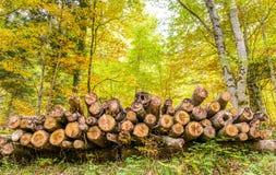 松木注册森林 库存照片