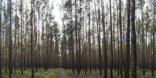 松木,木头的水平的图象与路的在射击的中心边 免版税库存图片