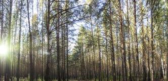 松木,木头的水平的图象有阳光视图 图库摄影