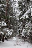 松林森林在冬天。 俄国。 免版税库存图片