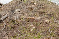 松树林业开发在一好日子 树桩和日志表示,过开发导致砍伐森林危及 免版税库存图片