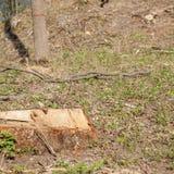 松树林业开发在一好日子 树桩和日志表示,过开发导致砍伐森林危及 库存图片