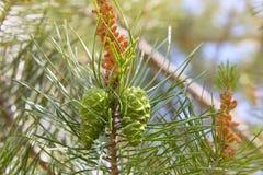 松树的枝杈有户外绿色锥体的 免版税库存图片