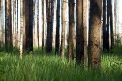 松树的森林 免版税库存图片